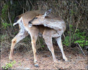 """ GROOMING TIME"",Sitka blacktail deer, Wrangell, Alaska,USA.-----""POVRCHOVA UPRAVA"", sitska cernoocasa srna,Wrangell, Aljaska,USA."