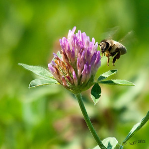 Bee With Clover