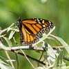 Monarch Butter