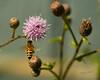 Honey Bee on Canadian Thistle Blosom