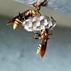 Breeding Wasp4