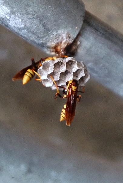 Breeding Wasp