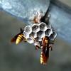 Breeding Wasp2