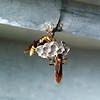 Breeding Wasp3
