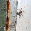 Brickhouse Spider