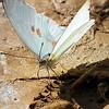 Butterfly in Mud