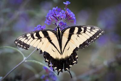 Tiger swallowtail -4695