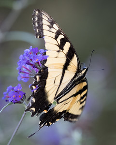 Tiger swallowtail in the wind-4707