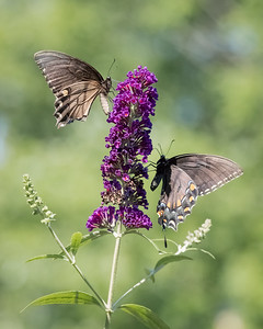 swallowtails -3799