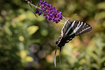 Zebra Swallowtail butterfly 4209
