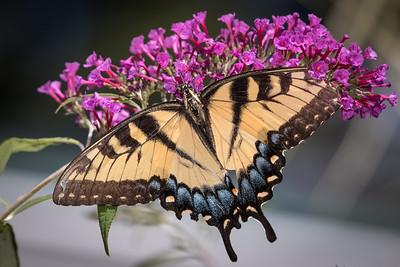 tiger swallowtail -4036