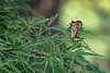 Monarch butterfly in Japanese maple tree-3963