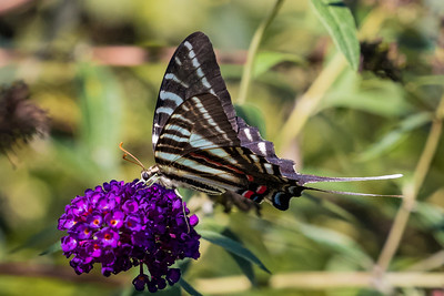 Zebra Swallowtail butterfly 4213