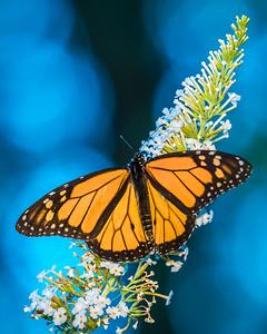 monarch butterfly -5273