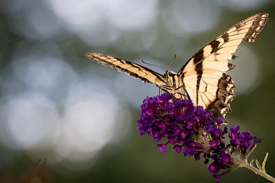 tiger swallowtail -4717