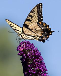 swallowtail purple flower ISO 2000 3576-