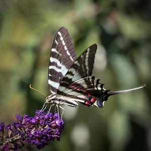 Zebra Swallowtail Butterfly 4256