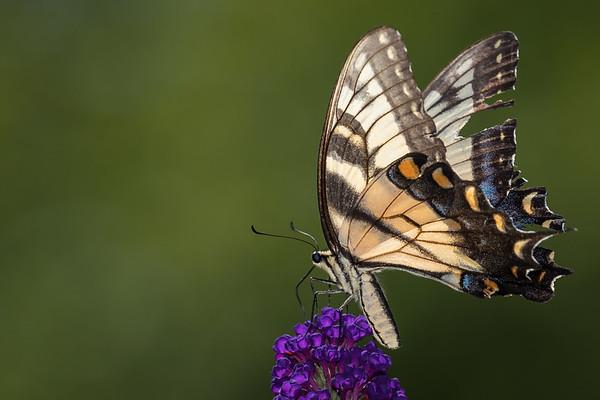swallowtail  on Butterfly bush -3957