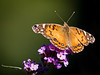 painted lady 1010771-