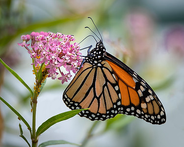 Monarch butterfly on milk weed w aphids  3464-
