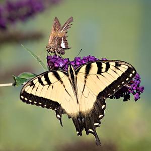 swallowtail w skipper 3693-