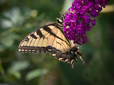 tiger swallowtail 1010415-