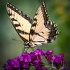tiger swallowtail 1010537-