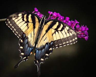 tiger swallowtail 3966-