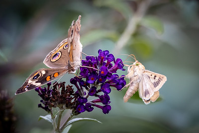 butterfly and moth on butterfly bush -8949