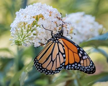 monarch butterfly 215200-5200
