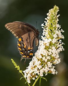 black swallowtail butterfly 212778-