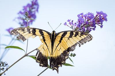 Tiger swallowtail 3250-