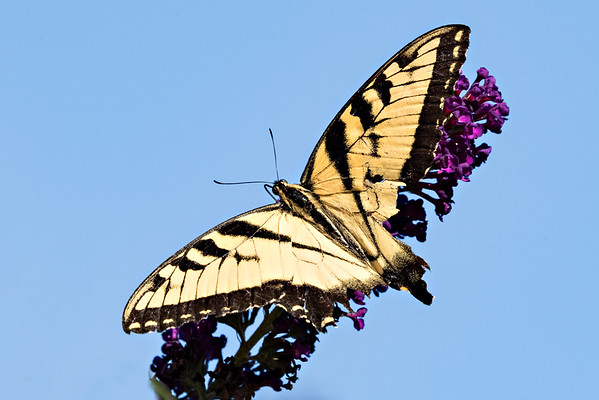 swallowtail  3616 ISO 1250-