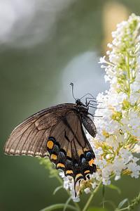 black swallowtail butterfly #2-2777