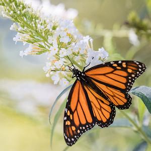 monarch butterfly -94