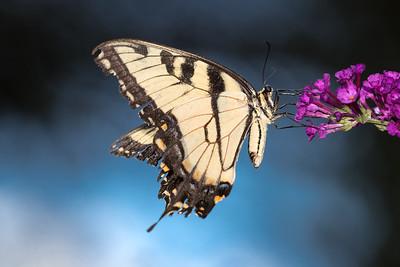 tiger swallowtail on butterfly bush -4080