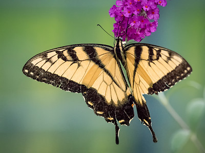 tiger swallowtail 1010673-