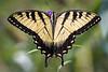 yellow swallowtail  212822-