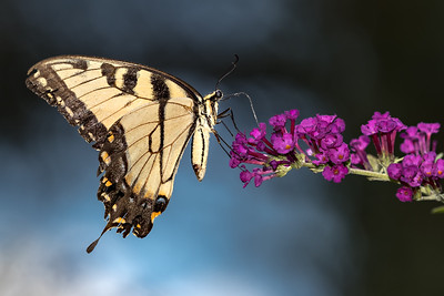 tiger swallowtail on butterfly bush  4084 -