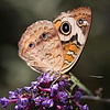painted lady 3424-
