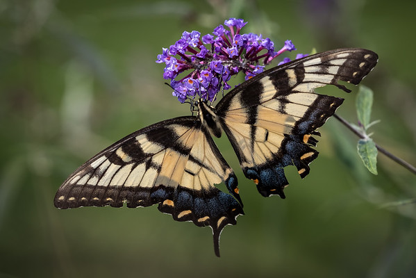 tiger swallowtail-3982