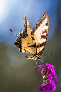 tiger swallowtail on butterfly bush  4093-4093