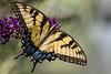 yellow swallowtail -2968