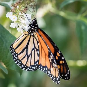 monarch butterfly -88