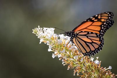 monarch butterfly -75