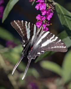 Zebra Swallowtail 4231