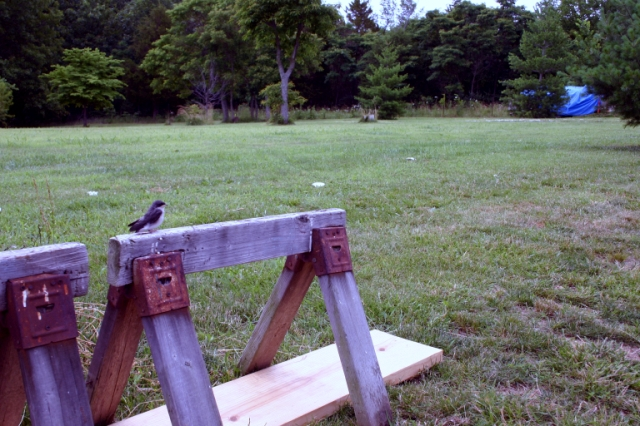 Young Purple Martin