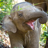 Baby boy Sunti at three months old, enjoying life in the forest.<br /> <br /> All proceeds from prints go to Mahouts Elephant Foundation, who are making it possible to bring these elephants home.