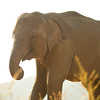 Bai Fern at sunset.<br /> <br /> All proceeds from prints go to Mahouts Elephant Foundation, who are making it possible to bring these elephants home.