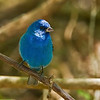 Indigo Bunting (Passerina cyanea). In the summer this bird can be found in the eastern half of the US as far north as Maine.